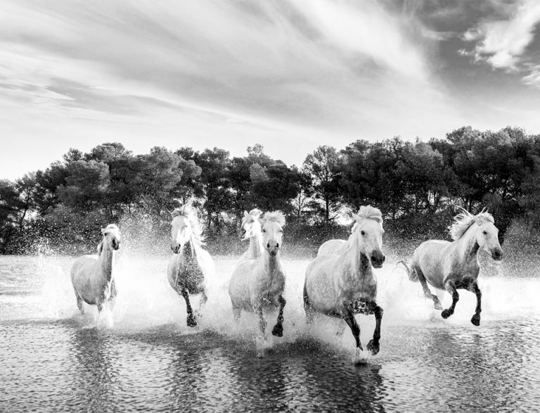 white-horses-of-camargue